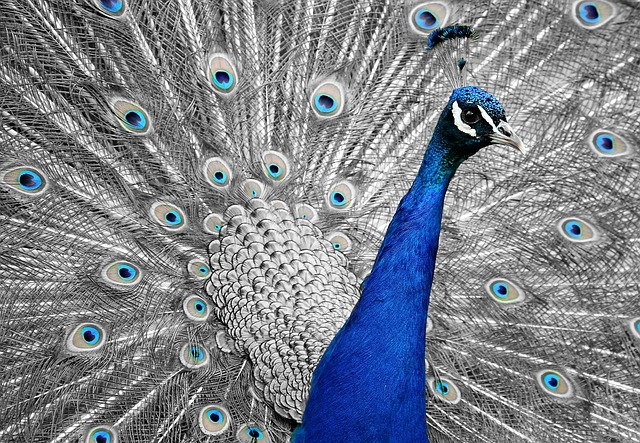 Foto de um pavão