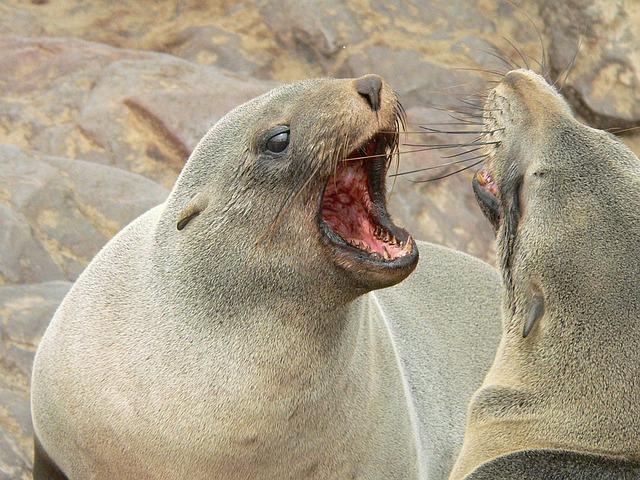 focas brigando